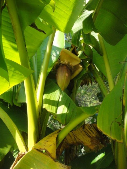 Banana Plant in Flower