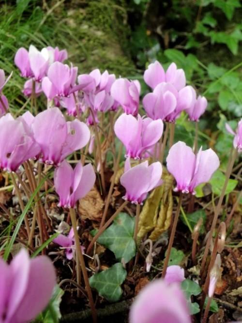 Cyclamen hedarifolium