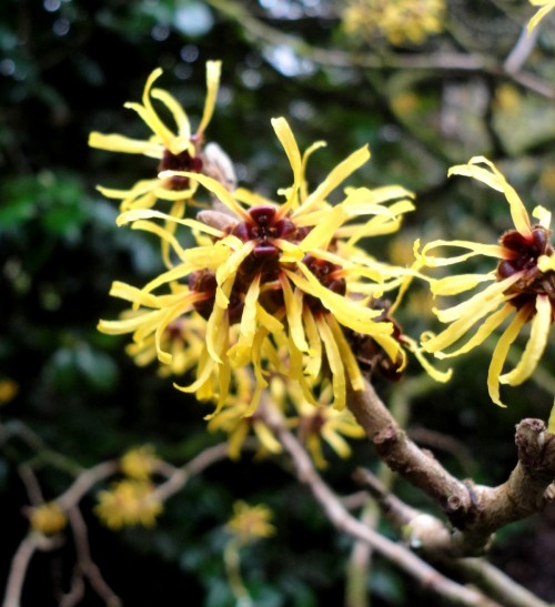 Hamamelis mollis in part of the Gardens called The Arctic Circle