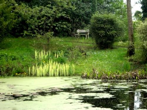 Iris pseudoacorus3