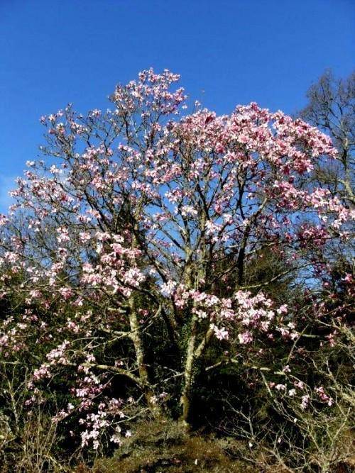 Magnolia Campbellii Tree