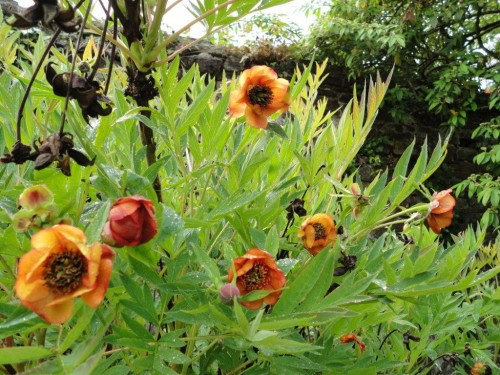 Picton Hybrid Tree_Peony_ X between yellow and red variety_turned out orange