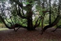 Red Cedar by Walled Garden