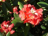 Rhododendron shilsonii