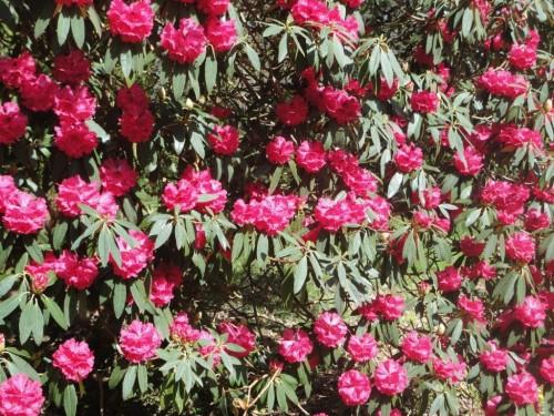 Tree Rhododendrun