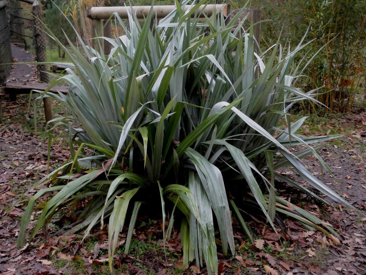 Astelia Chathamica Picton Castle Gardens