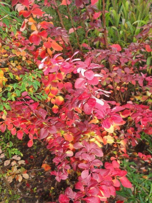 Berberis Golden Ring