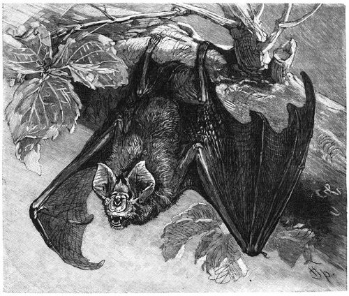Greater Horseshoe Bat_ 800px-Grosse_Hufeisennase-drawing
