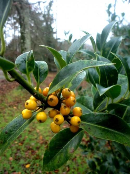 Ile aquifolium Bacciflava2