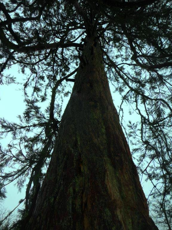 Looking up a Picton Redwood