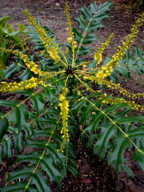 Mahonia Winter Sun_lovely leaves and flowers