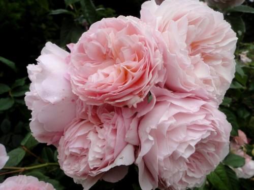 Rose_Shropshire Lad