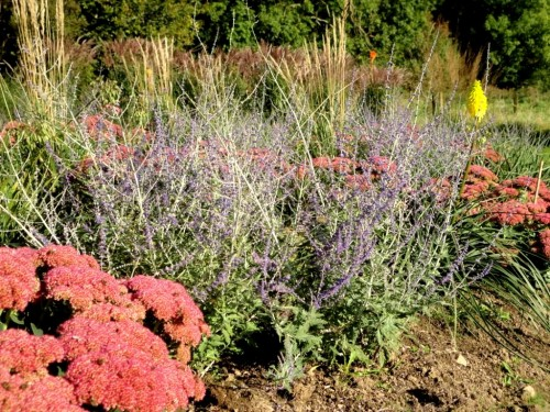 Russion Sage and Sedum in the new borders