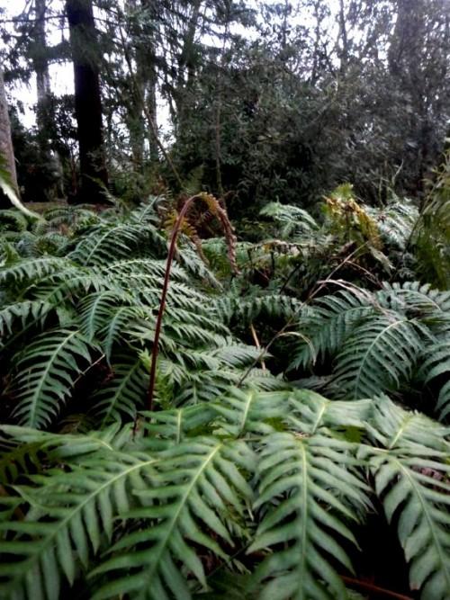 Woodwardia radicans2