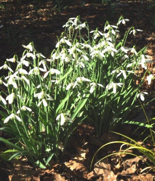 Tall, wide spreading flowers of Galanthus plicatus